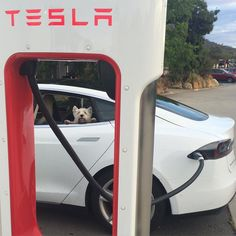 #recharging  #westie #supercharger #tesla #westieswithteslas #p85d #teslamodels #ev #electricvehicle #dogsincars #westiesrule #westietude #dogspotting #melbournedogs #roadtrip by kyobooboo