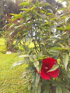Die erste Blüte des Garten -Hibiskus  in diesem Jahr