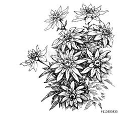 Vektor: Edelweiss etching, rare flowers foliage
