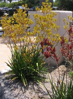 Kangaroo paw (Anigozanthos) [yellow- 'bush gem', red 'bush embers'] other colors & variations. From Australia, holds up well to the Phoenix heat..nice change from the typical red hesperaloes all over AZ. Xeriscape Plants, Succulent Landscaping, Xeriscaping, Privacy Landscaping, Garden Shrubs, Backyard Landscaping, Australian Native Garden, Australian Plants, Kangaroo Paw Plant