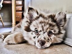 Australian shepherd/ Pomeranian mix. Now, that's an incredible mask - almost looks fake.