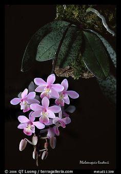 Phalaenopsis lindenii. A species orchid (color)