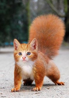 hybrid animals - A kitty & a squirrel mix!  I'd take one of these in a minute!  How adorable!  Love it!  (: