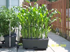 Grow corn in a container