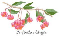 la pianta del mese Euonymus europaeus