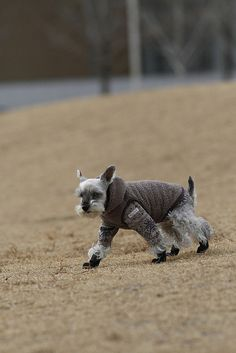 Puppy boots, Miniature Schnauzer by Teruomi Itou Schnauzer Dogs, Mini Schnauzer, Miniature Schnauzer, Schnauzers, Little Black Dog, Pet Dogs, Pets, Doggies, Dog Pin