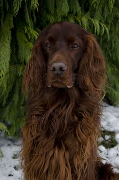 Irish Setter ~ Classic Look Trim Baby Dogs, Pet Dogs, Dogs And Puppies, Doggies, Irish Setter Dogs, English Setter, Beautiful Dogs, Animals Beautiful, Cute Animals