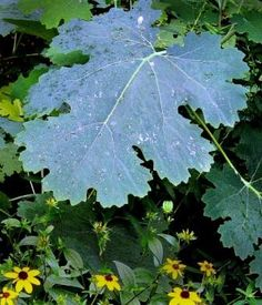 """I'm not making any apologies for the, uh, shall we say the more """"robust"""" nature of several plants in my garden. Plume poppy (Macleaya cordata) is certainly one of them. The exuber… Tropical Garden, Tropical Plants, Shed Makeover, Gothic Garden, Big Leaves, Flowers Perennials, Medicinal Plants, Garden Art, Poppies"""