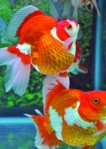 Graceful goldfish on pinterest goldfish comet for What kind of fish live in ponds