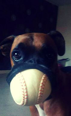Boxers are large, muscular,square-headed dogs who look imposing-that is, until you look into their eyes and see the mischief and joy of life reflected there.