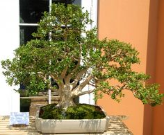 Which plants are best suited for the formation of bonsai? There are many but we've selected 22 best trees for bonsai. Check out!