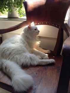 Very big cat Cute Cats And Kittens, I Love Cats, Kittens Cutest, Turkish Angora Cat, Angora Cats, American Curl, Cat Anatomy, Fancy Cats, Curious Cat