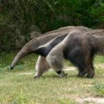 anteater running