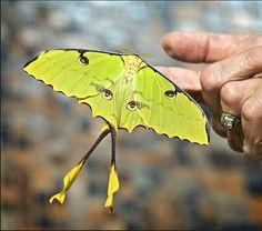 The beautiful African luna moth