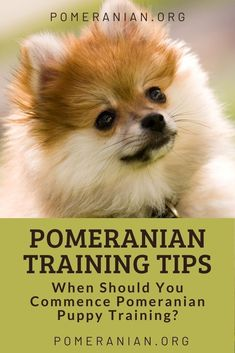 Are Pomeranians easy to train? Are Pomeranians stubborn? We answer these Pomeranian training questions and offer many Pomeranian training tips. #dochlaggie #pomeranian Pomeranian Dogs, Pomeranians, Puppy Training Tips, Potty Training, Small Dog Breeds, Small Dogs, Dog Trick, Dog Information, Cute Funny Dogs
