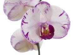 Blumenbild auf Leinwand oder Kunstdruck weiß-pinke Orchidee