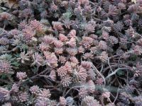 Sedum hispanicum var. minus 'Purple Form' Little Blue Spanish stonecrop Z 4-9