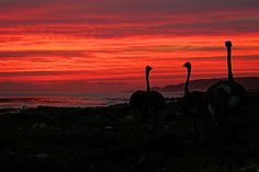 a cape of good hope ostrich, linking to Cape Drive Pictures, South Africa