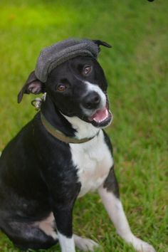 Winston is an adoptable Border Collie searching for a forever family near Lake Jackson, TX. Use Petfinder to find adoptable pets in your area.