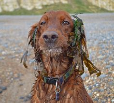 """Join me in the """"Animal Antics"""" Photo Challenge Animals Beautiful, Cute Animals, Cute Dogs And Puppies, Doggies, Irish Setter Dogs, Animal Antics, Old Dogs, Dogs Of The World, German Shepherd Dogs"""