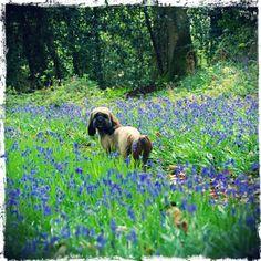 La forêt s'est recouverte d'une jolie couverture bleue, de jacinthes des bois. Même Happy, notre Lassa Apso apprécie!
