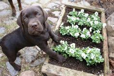 Chocolate Labrador Retriever Hornveilchen http://www.meinwortreich.de/k2-2/mein-tierreich/schokolabbys/schokolabby-storys/item/151-hornveilchen