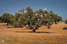 The Tree Goats (On The Way From Marrakesh to Essaouira) -    Tamri (Morocco)  Thanks for viewing this photo: if you like it, perhaps you will like my blog photographingaround.me too. For sure, your visit wou...