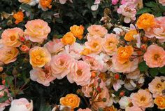 Flower Carpet Amber  Like the rest of the roses in the Flower Carpet series, 'Amber' blooms repeatedly from late spring till first frost, but the best feature of this low-maintenance rose is its delightful mixture of peach, yellow, orange, apricot, gold and, yes, amber.