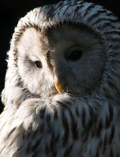Ural owl clair-obscur portraitby ~HydraDominatus