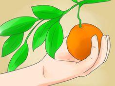 How to Grow an Orange Tree WikiHow