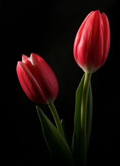 Red tulips, symbolic of my dutch heritage.  (Para ti amor <3<3<3 19 10 2013)