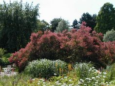 cotinus coggygria royal purple in the background, perennials foreground