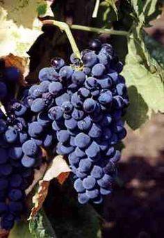 Il Nero d'Avola è il vitigno a bacca nera più famoso della Sicilia. Anche se l'area più vocata alla sua produzione è il Sud-Est della Siclia, nei pressi di...