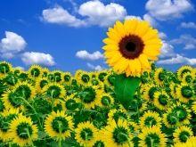 fond ecran tournesol wallpaper sun flower hd telecharger gratuit.jpg