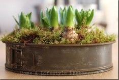 Tulpen, die in eine alte Backform gepflanzt wurden.