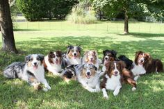 10 Things Only an Australian Shepherd Owner Would Understand   WOOFipedia by The American Kennel Club