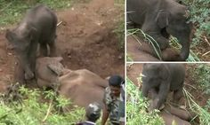 Watch the heart-breaking moment a baby elephant tries to revive mother