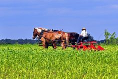 The Bloomfield Amish community is one of the largest in Iowa http://amishamerica.com/bloomfield-iowa-amish-settlement/#