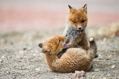 Amateur Photographer Captures Intimate Photos Of Foxes Living In One Of The World's Remotest Regions