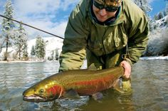 Nice big Idaho steelhead. Bukhamseen Week Idaho  #fishing #visitidaho