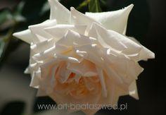 Rosa ,,Swan lake,,
