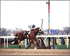 SECRETARIAT - ORIGINAL 1973 GOTHAM STAKES PHOTO! in Sports Mem, Cards & Fan Shop, Fan Apparel & Souvenirs, Horse Racing | eBay