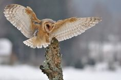 BARN OWL FACT:  Despite standing over a foot tall with a three-foot wingspan, barn owls weigh only one to two pounds. This low ratio of weight to wing size allows the barn owl to fly slowly and deliberately over fields while it searches by sight and sound for its prey below.`