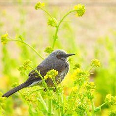 () 2016-2-23 Tuesday  菜の花とヒヨドリ 日曜日に撮影しました ヒヨドリの重みで 菜の花が折れそう 今日も一日お疲れさまでした m(_ _)m   #菜の花 #葛西臨海公園 #ヒヨドリ #鳥 #野鳥 #東京都 #東京カメラ部 #写真好きな人と繋がりたい  #写真撮ってる人と繋がりたい #japan_photo_now #loryandalpha #eye_spy_birds #japan_daytime_view #野鳥倶楽部 by miyamiyayu