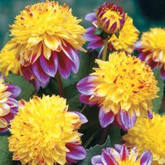 """Boogie Woogie Dahlia.  Sunny yellow pincushions 4-5"""" across,blushed with deep pink, are accented with deep pink outer petals to create a whimsical look for your garden or patio pots. Draws the attention of nearby hummingbirds."""