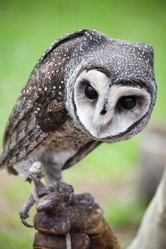 Heart faced sooty owl.
