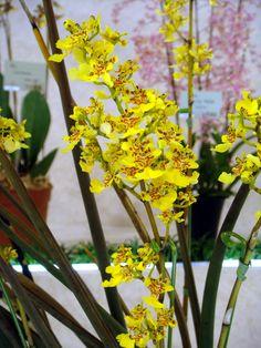 HOA GIEO TỨ TUYỆT 2 - Page 54 Defb4f34c98ceffae2d1ea207093e3cd--oncidium-orchid-kwiat