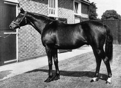 Nearco Whose Son Nearctic Was Sire Of Northern Dancer Who Dominated European Racing For More Than Forty Years, And Nearco's Son Nasrullah Was Sire Of Bold Ruler Who Has Dominated U. Racing For More Than 50 Years. Most Beautiful Horses, All The Pretty Horses, Sport Of Kings, Thoroughbred Horse, Racehorse, Show Horses, Courses, Horse Racing, Equestrian