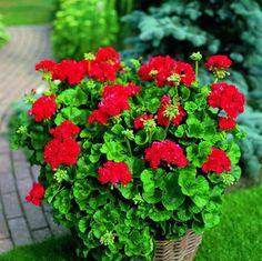 Pelargonium zonale Love Flowers, Container Gardening, All The Colors, Shrubs, Perennials, Planting Flowers, Garden Design, Succulents, Bouquet