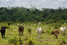 Brazilian cattle ranching policies can reduce deforestation - http://scienceblog.com/72072/brazilian-cattle-ranching-policies-can-reduce-deforestation/